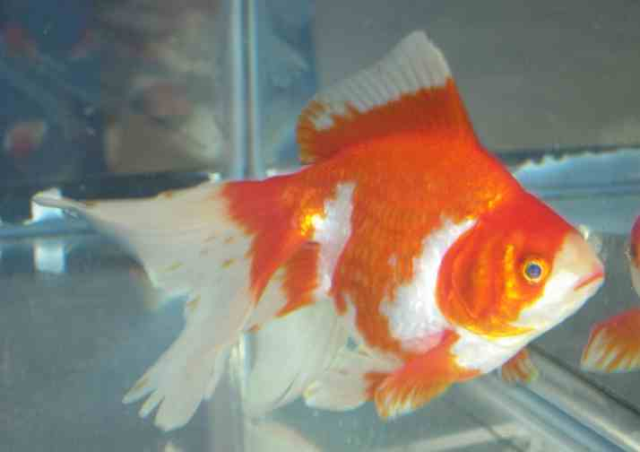 Koi america goldfish show 2005 for American koi fish