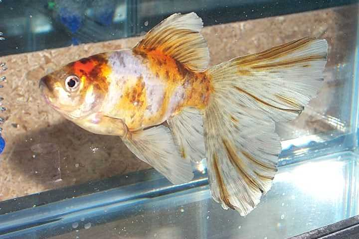 Welcome to the best fish care website shubunkin for Shubunkin fische